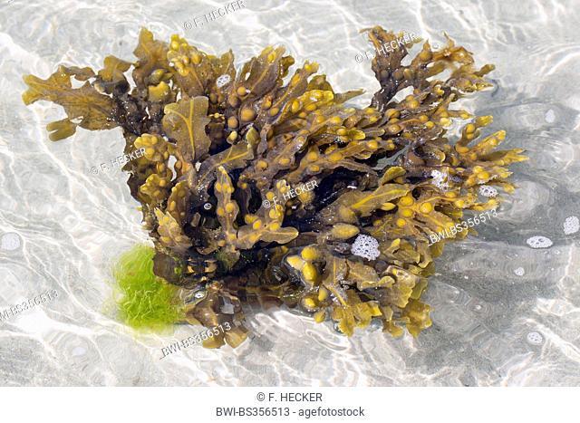 Bladder wrack, Bladderwrack, Black tang, Rockweed, Bladder fucus, Sea oak, Black tany, Cut weed, Dyers fucus, Red fucus, Rock wrack (Fucus vesiculosus