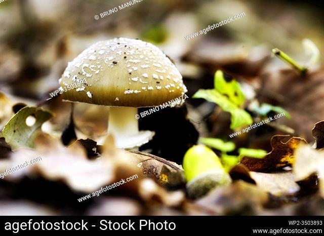 Mushroom, Amanita ceciliae