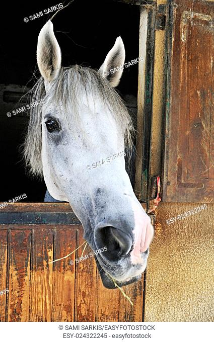 Camargue horse looking out of its stable door, Camargue, France, Europe