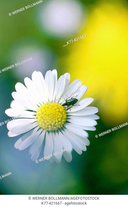 Daisy (Bellis perennis). Germany