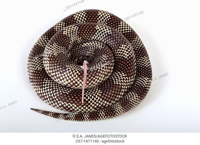 Goins King Snake Lampropeltis getulus goini eating dead mouse