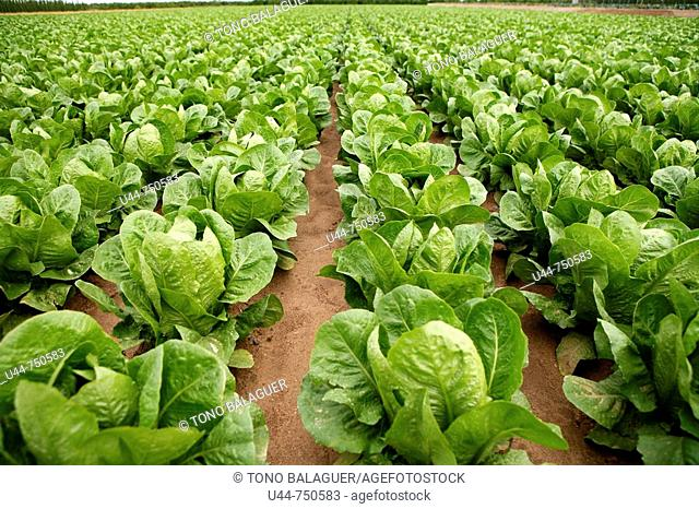 Green vegetables growing in the fields
