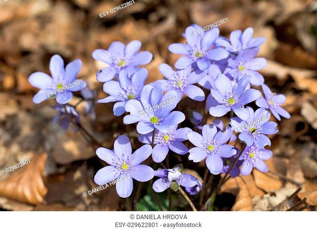 Flower – Hepatica, CZ
