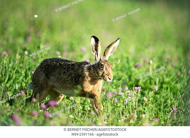 Hare (Lepus capensis), running in meadow with trefoil, Bavaria, Germany