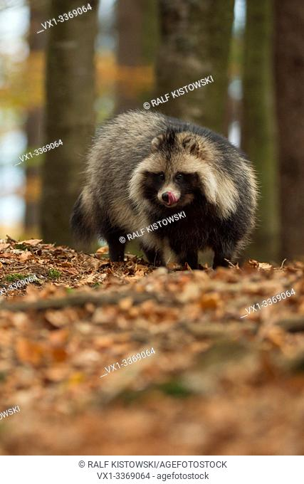 Raccoon dog / Marderhund ( Nyctereutes procyonoides ), adult animal, invasive species, stands in a forest, licking its tongue, looks eager, in autumn, Europe