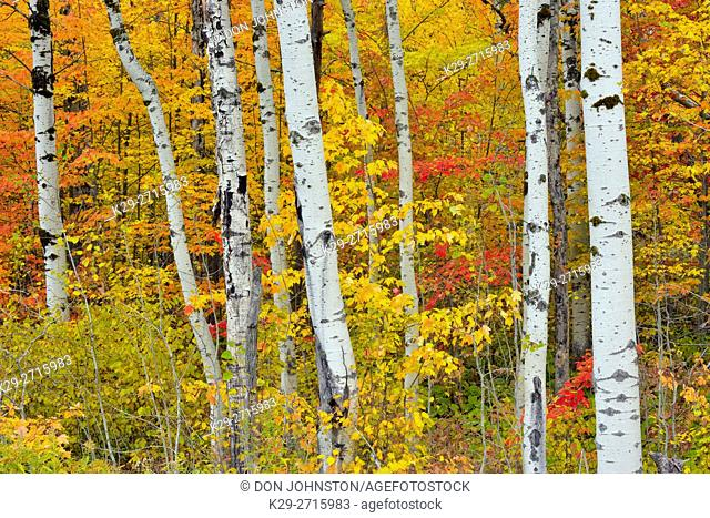 Autumn colour in the understory of an aspen woodland. Greater Sudbury, Ontario, Canada