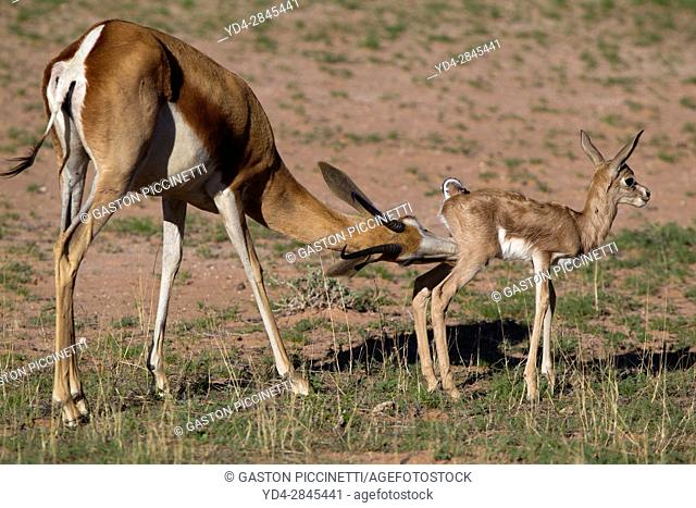 Springbok (Antodorcas marsupialis) - Mother and lamb, Kgalagadi Transfrontier Park in rainy season, Kalhari Desert, South Africa/Botswana