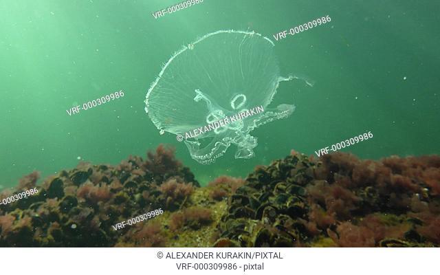 Common jellyfish (Aurelia aurita) against a background of greenish water and sunlight