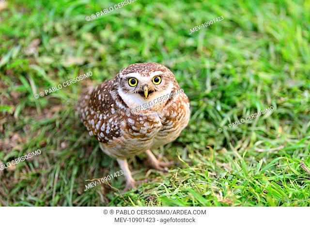 Burrowing Owl (Speotyto cunicularia). Peninsula Valdes, Patagonia, Argentina