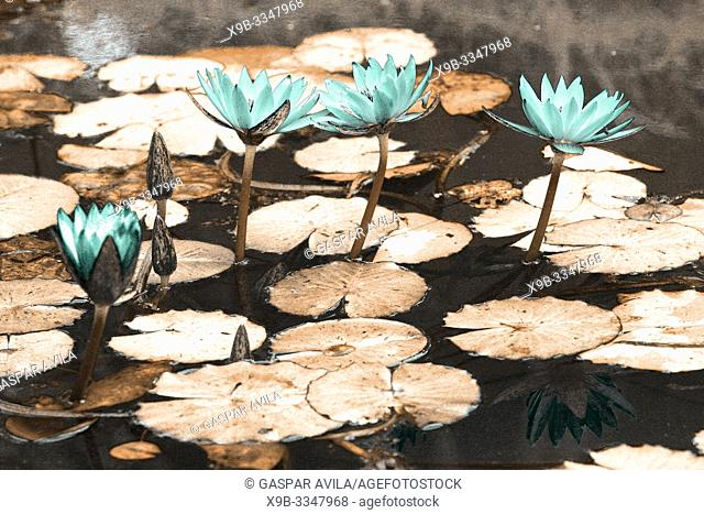 Simulated infrared photo of waterlilies in Terra Nostra Park. Furnas, Azores islands