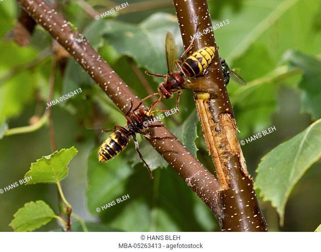 Hornets, Vespa crabro, in flight