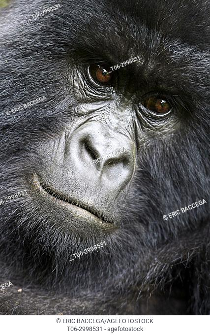 Mountain gorilla ( Gorilla beringei beringei) female head portrait, member of Humba group. Virunga National Park, North Kivu, Democratic Republic of Congo