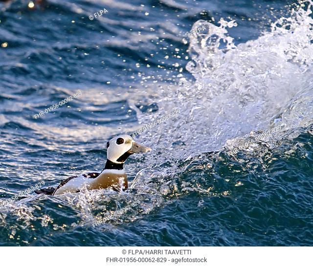 Stellers Eider Polysticta stelleri adult male, swimming on rough sea, Varanger, Northern Norway, march