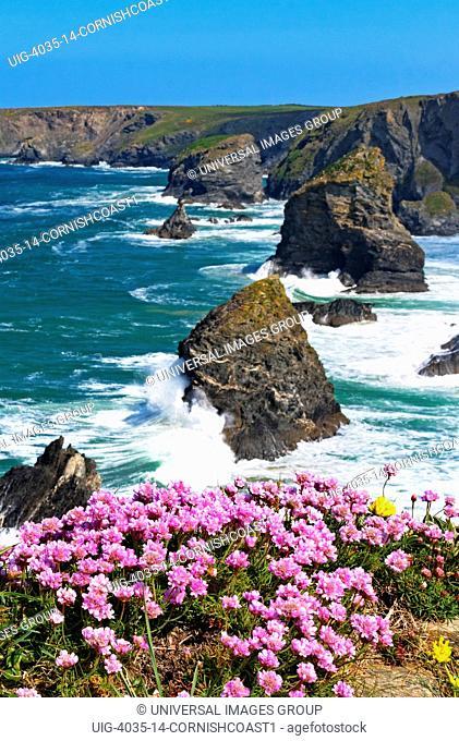 thrift Armeria maritima flowering on the Cornish coast near bedruthan steps, Cornwall, England, Britain, uk