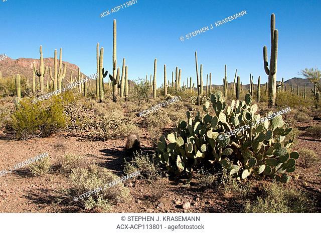 Prickly Pear and Saguaro cactus, Saguaro National Park, AZ, USA