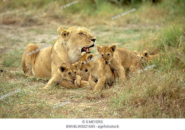 African lion Panthera leo, lioness with lion cubs, resting, Kenya, Masai Mara National Reserve, Nov.01