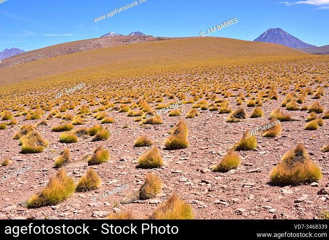 Paja brava, pasto hiro or paja hiro (Festuca orthophylla) is a perennial herb native to Andes of Argentina, Bolivia, Chile, Ecuador and Peru