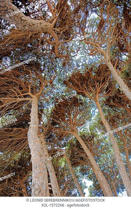 Canopy of pine trees  La Pineda, Costa Dorada, Catalonia, Spain