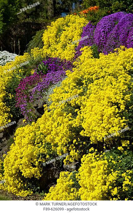 Basket of Gold, Purple Aubrieta cascade over sunny rock wall (Aurinia saxatilis; Aubrieta deltoides). Spokane, Manito Park, WA