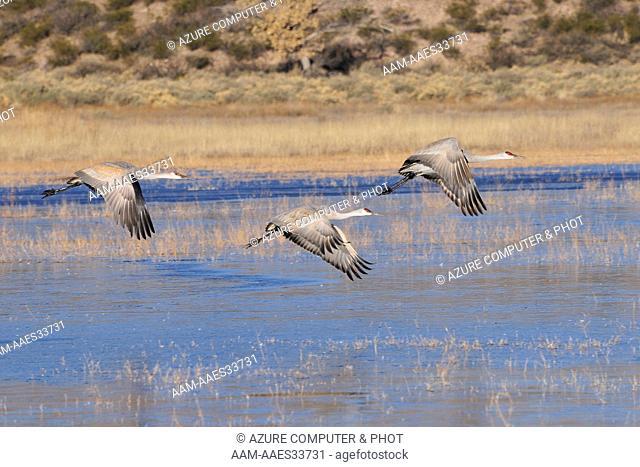 Sandhill Crane (Grus canadensis) Bosque del Apache NWR, New Mexico
