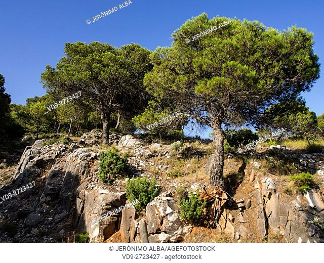 Pine trees, Natural Park, Sierra de Mijas. Malaga province, Costa del Sol. Andalusia southern Spain Europe