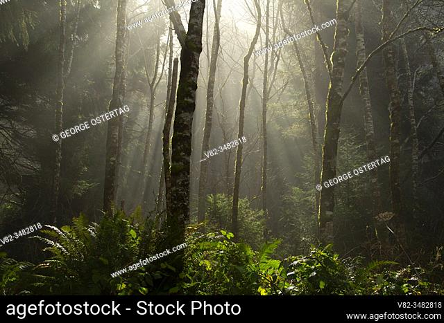 Forest fog on St. Perpetua Trail, Cape Perpetua Scenic Area, Siuslaw National Forest, Oregon