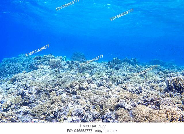 coral reef in tropical sea on a background of blue water, underwater