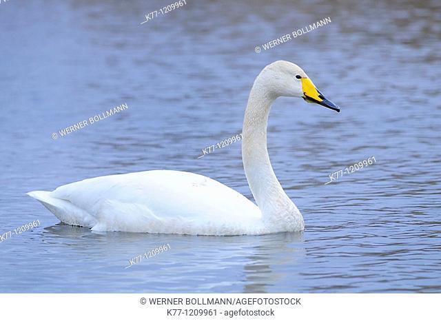 Whooper Swan (Cygnus cygnus), Lake Hornborga, Sweden