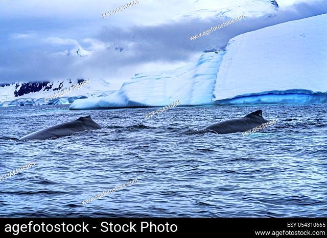 Two Humback Baleen Whales Chasing Krill Blue Iceberg Floating Sea Water Charlotte Bay Antarctic Peninsula Antarctica. Baleen Whale
