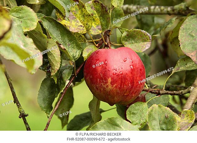 Cultivated Apple Malus domestica 'Cornish Pine', English dessert apple, fruit on tree in orchard, Shropshire, England
