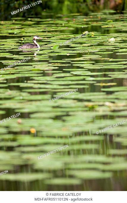 Nature - Fauna - Bird - Great crested grebe