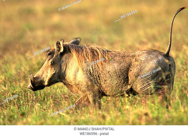 At the slightest disturbance the wathog becomes alert and starts fleeing Notice the tail becomes erect and resembles an antenna