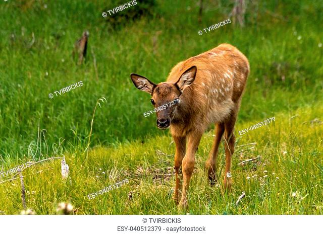 Small elk calf standing in green grass