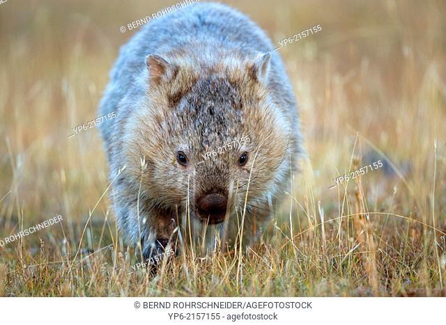 Common Wombat (Vombatus ursinus), Maria Island, Tasmania, Australia