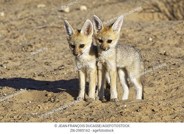 Cape fox (Vulpes chama), two cubs against each other, standing near the burrow, evening light, Kgalagadi Transfrontier Park, Northern Cape, South Africa, Africa