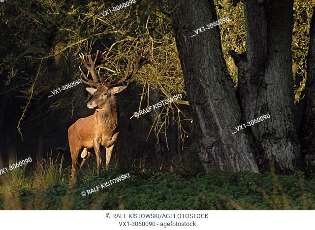 Proud Red Deer (Cervus elaphus) stands at the edge of a forest in spectacular first morning lightspot, Europe