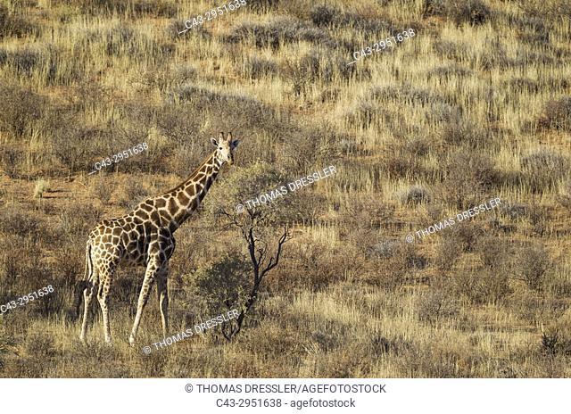 Southern Giraffe (Giraffa giraffa). Male at the foot of a grass-grown sand dune. Kalahari Desert, Kgalagadi Transfrontier Park, South Africa