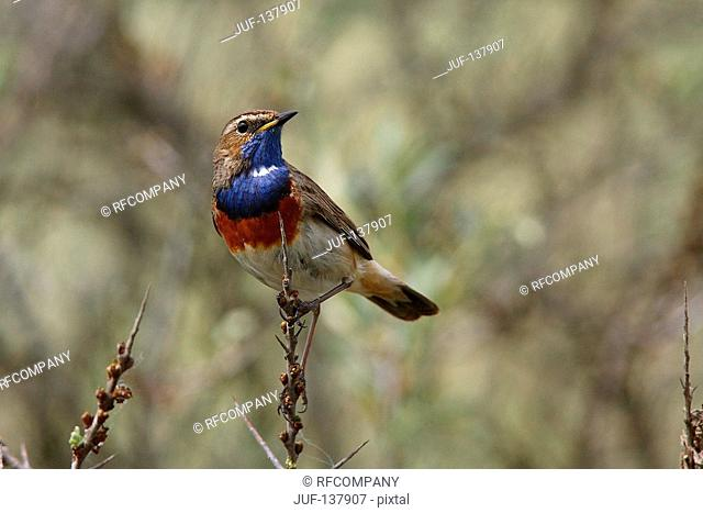 bluethroat on twig / Luscinia svecica
