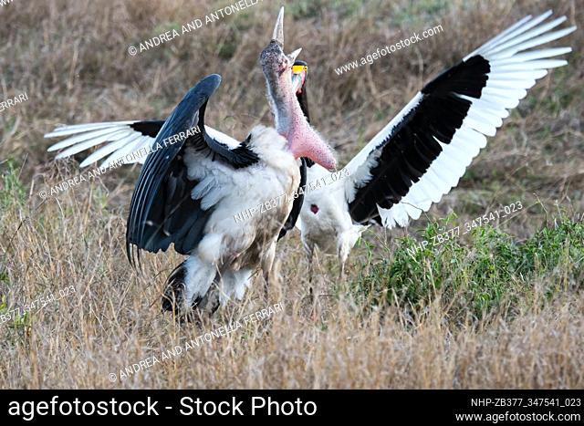 Marabou stork Leptoptilos crumenifer and Saddle-billed Stork fighting, Masai Mara Nature Reserve, Kenya, Africa