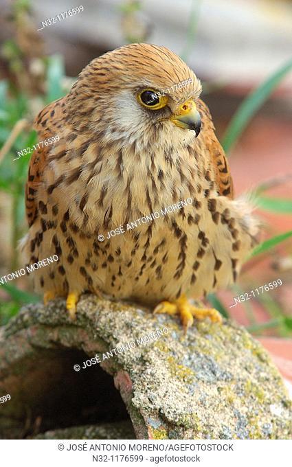 Lesser Kestrel Falco naumanni, Andalusia, Spain, Europe