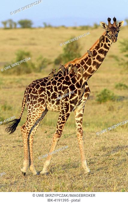 Masai giraffe (Giraffa camelopardalis), young animal with red-billed oxpeckers (Buphagus erythrorhynchus) on its neck, Masai Mara National Reserve, Narok County