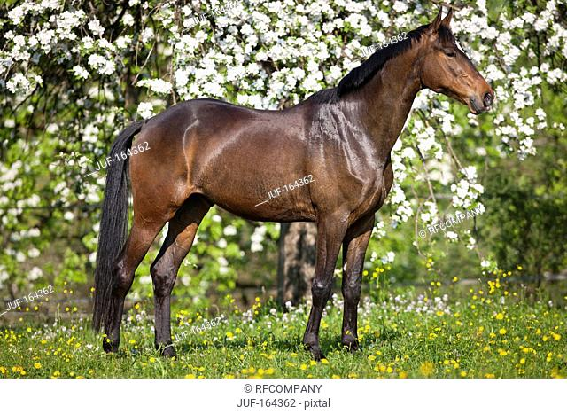 Trakehner horse - standing on meadow