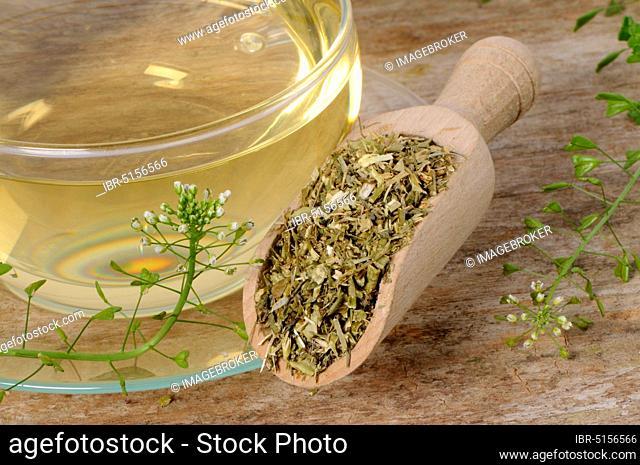 Cup shepherd's purse herb tea (Capsella bursa-pastoris), shepherd's purse herb, shepherd's purse herb tea