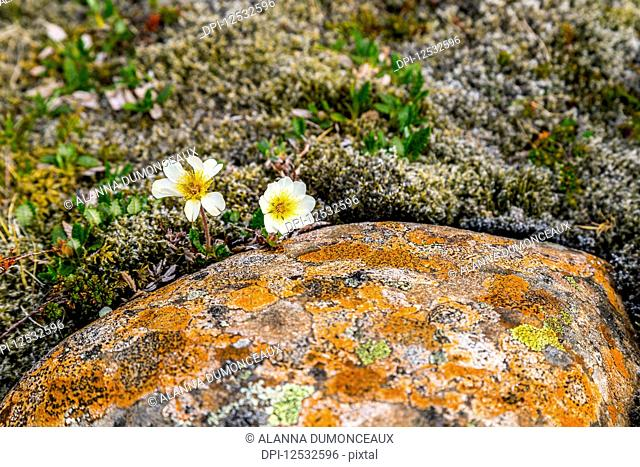 Two hardy white flowers emerge from a thick bed of moss and colourful lichen against the rocky landscape; Iceland
