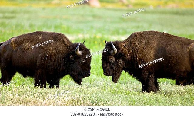 Buffalo face to face