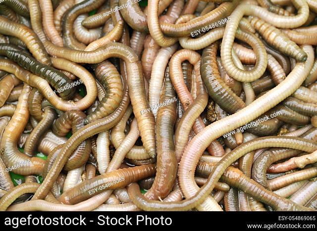 Earthworms. Lumbricus terrestris