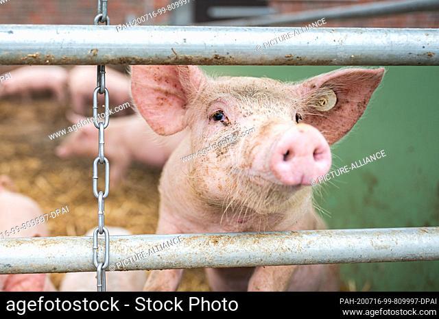 15 July 2020, Lower Saxony, Aurich: On an organic farm, a pig in a barn peeps through between two sticks. Photo: Mohssen Assanimoghaddam/dpa