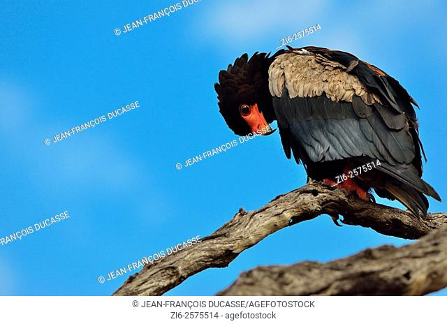 Bateleur eagle (Terathopius ecaudatus), perched on dead tree, looking down, Kruger National Park, South Africa, Africa