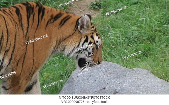 Close-up of siberian tiger prowling