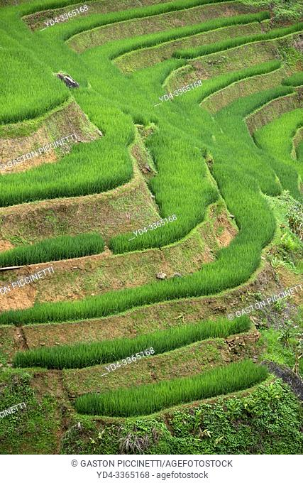 Rice terraces in Muong Hoa valley near to Lao Chai village, home of the Black Hmong people, Sa Pa, Lao Cai Province, Vietnam, Asia.